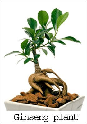 Ginseng plant photo